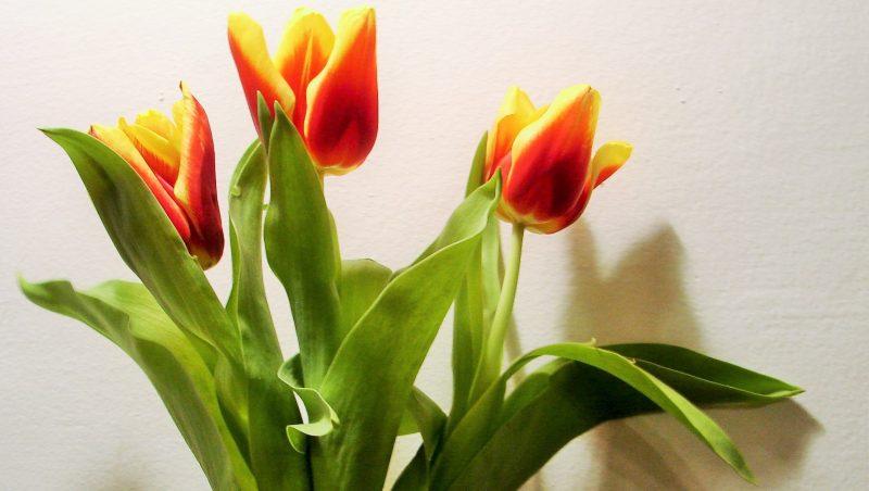 Tulipany_foto_JPCh