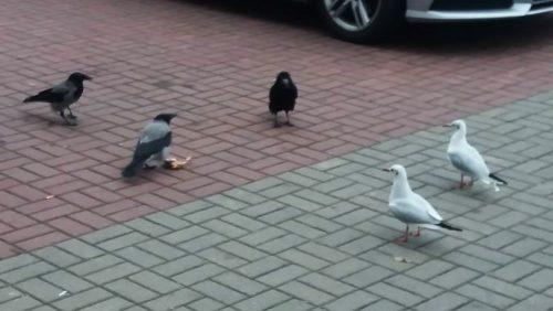 Ptaki_miejskie